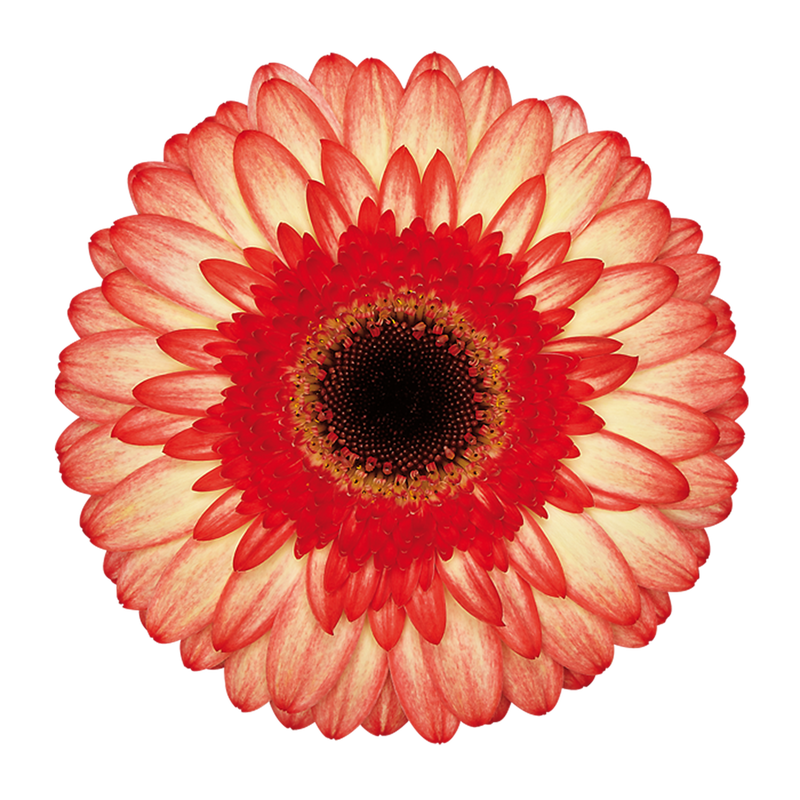 Gerbera Take Two - Wb Gerbera